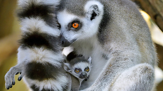 Adorable Lemur Twins Are Vienna Zoo's Newest Arrivals: ZooBorns - Video