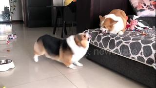Two Corgis are locked in an adorable bitter argument