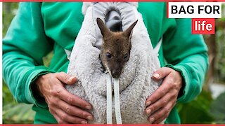 Baby wallaby being hand-reared in a rucksack