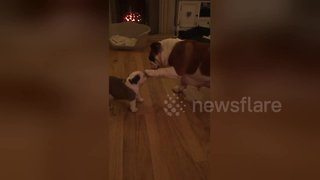 Adorable moment mother bulldog pats her puppy on head