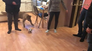 Domesticated Cougar Plays Football In The Living Room With His Owners - Video