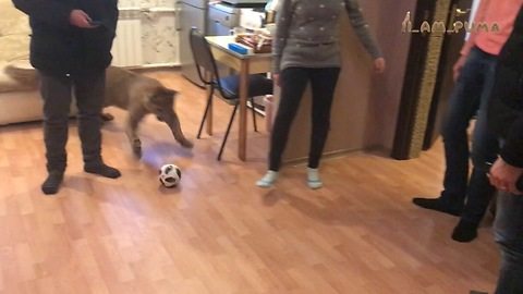 Domesticated Cougar Plays Football In The Living Room With His Owners