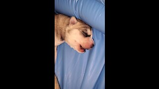 Newborn husky's first ever howling session will melt your heart