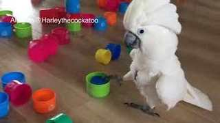 Toy Tower Block Dismantled as Ruthless Cockatoo Wreaks Havoc - Video