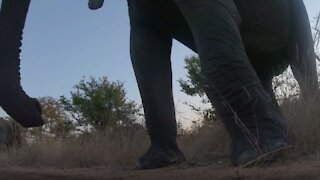 Elephant bull is unimpressed with camera, kicks it over with his foot