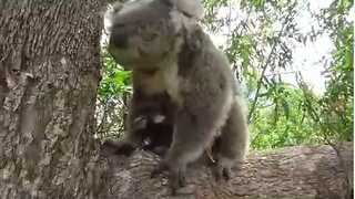 Cute Koala Twins Can't Leave Their Mum in Peace - Video