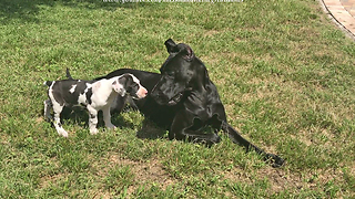 Adopted Great Dane's life is complete with new puppy