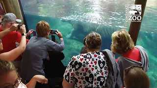 Large Crowds Gather for Chance to See Cincinnati Zoo's Baby Hippo - Video