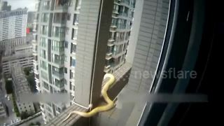 Police officers rescue python from skyscraper - Video