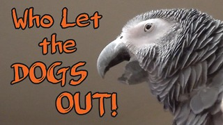 Parrot flawlessly sings 'Who Let The Dogs Out' - Video