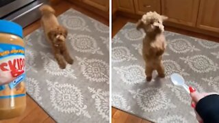 Adorable puppy goes absolutely crazy for peanut butter