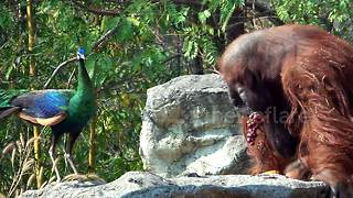 Orangutan has lunch with a peacock - Video