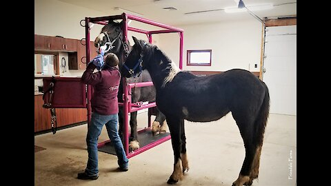 Young horse supports friend during dentist visit