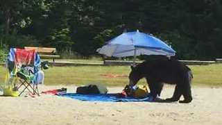 Hungry Bear Prowls Through British Columbia Beach