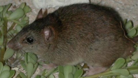First Mammal Confirmed Extinct Due To Climate Change