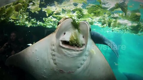 This stingray eating lettuce is oddly satisfying to watch
