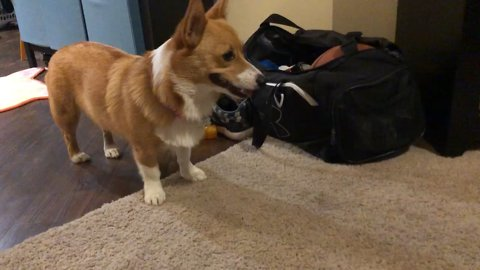 Adorable corgi flying kick