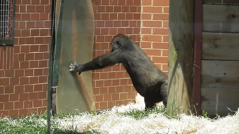 Ornery gorilla youngster gives family a hard time