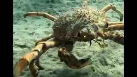 Crabby Crab Lets Diver Know Who's Boss in Waters Off Victoria