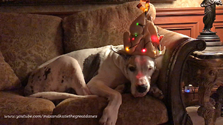 Great Dane reluctantly models light-up turkey hat