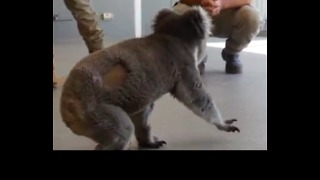 Koala Learns to Walk Again After Car Accident