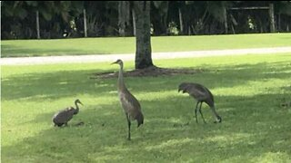 Family of sandhill cranes makes a home in Jupiter Farms