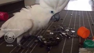 Delighted Cockatoo Plays With Her Collection of Buttons - Video