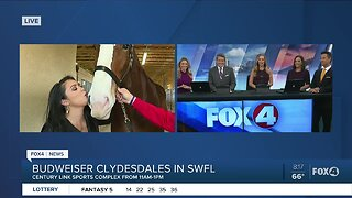 Budweiser Clydesdales and Dalmatian mascot prepare for last event in SWFL