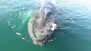 Humpback Whales Intrigued by Boat During Tour - Video