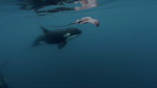 Killer Whale Hits Stingray Hard With Its Tail