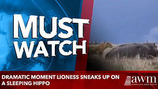 Dramatic moment lioness sneaks up on a sleeping hippo