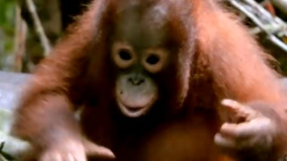 Any Procrastinator Will Relate to This Baby Orangutan Getting Distracted While Trying to Build Nest - Video