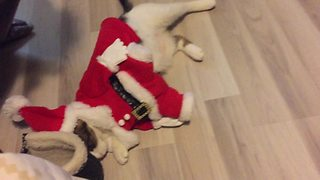 Cat wearing Santa outfit plays dead on command
