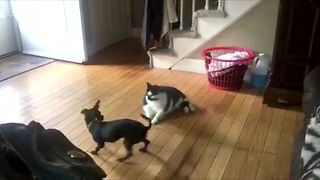 Large lazy cat can't handle hyperactive puppy - Video
