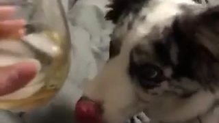 Dog tries to drink from outside of glass cup