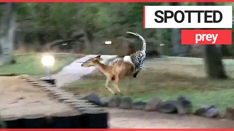 Dramatic footage shows savage moment a leopard pounced on an antelope and mauled it to death