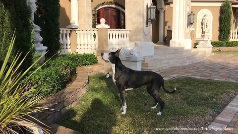 Funny Great Danes go looking for squirrel