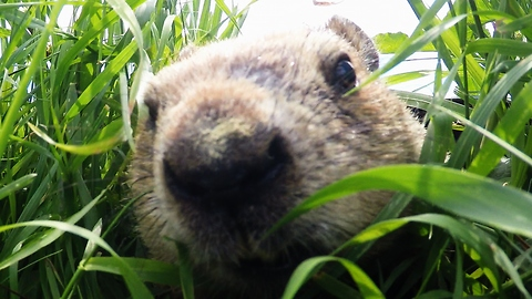 Gopher with dad bod inspects hidden GoPro