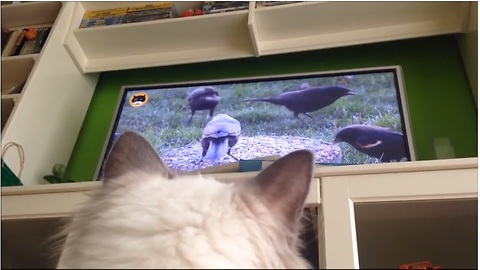 Cat fascinated by birds on TV, can't stop watching