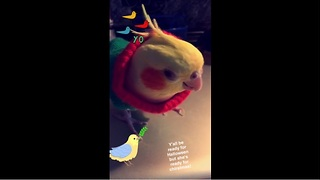 Cockatiel ready for the holidays with Christmas sweater - Video