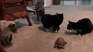Cats cautiously approach turtle for the first time - Video