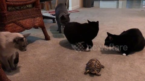 Cats cautiously approach turtle for the first time