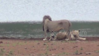 Hippo charges pride of lions with cubs - Video