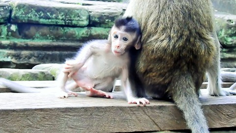 Cute Baby Monkey Polly Now On Temple Walk