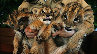 Cute Lion Cubs Are Newborn Stars - Video