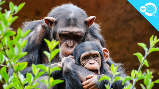 BrainStuff: Should Animals Have Human Rights? - Video
