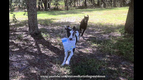 Great Dane Dash Delivery Dogs Prefer Amazon Package To Newspaper