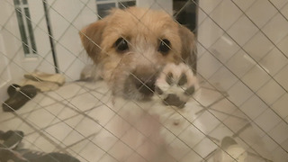 Jack Russell Puppy Knocking Door  - Video