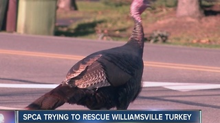 The Paradise-Klein turkey can be seen limping through Williamsville roads - Video