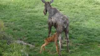 Newborn Moose Learns to Walk in Colorado - Video